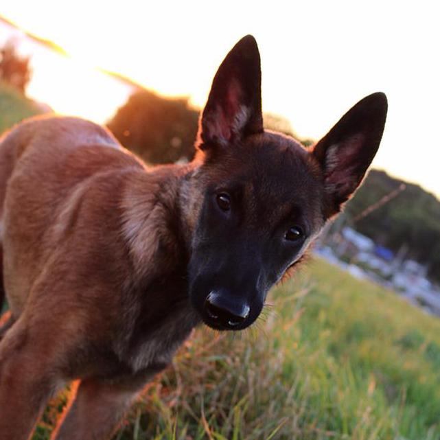 solnedgång hund