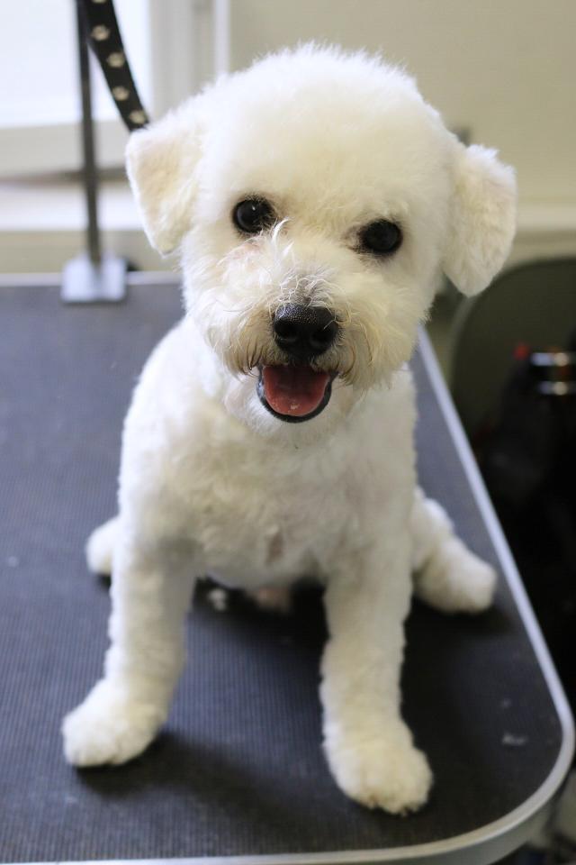 Nyklippt bichon frisé, han fick en fin ny frisyr av vår hundfrisör